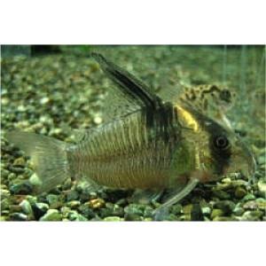 (熱帯魚・コリドラス)コリドラス・レセックス (ワイルド) Mサイズ 2匹|mame-store
