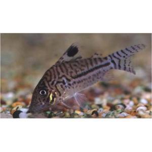 (熱帯魚・コリドラス)コリドラス・レオパルダス (ワイルド) Mサイズ 3匹|mame-store