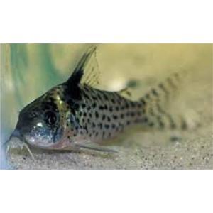 (熱帯魚・コリドラス)コリドラス・アムビアクス(ワイルド)SMサイズ 1匹|mame-store