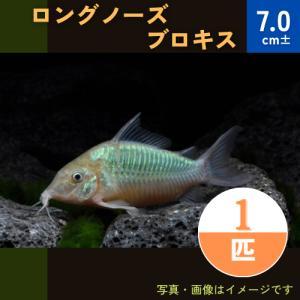 (熱帯魚・コリドラス)ロングノーズブロキス 7cm± 1匹|mame-store