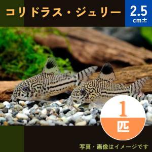 (熱帯魚・コリドラス)コリドラス・ジュリー(ブリード) SMサイズ 1匹|mame-store