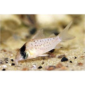 (熱帯魚・コリドラス)コリドラス・シクリ(ワイルド)Mサイズ 1匹 mame-store