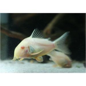 (熱帯魚・コリドラス)コリドラス・ステルバイ アルビノ Mサイズ 3匹|mame-store