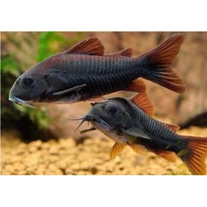 (熱帯魚・コリドラス)コリドラス・ベネズエラブラック MSサイズ 2匹|mame-store