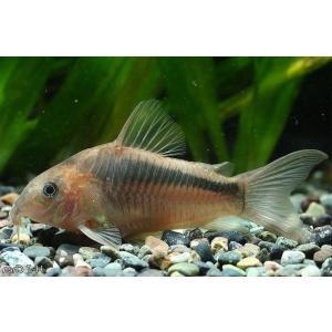 (熱帯魚・コリドラス)コリドラス・ジガータス Mサイズ 2匹|mame-store