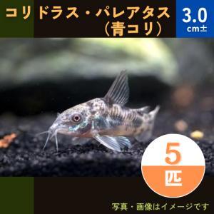 (熱帯魚・コリドラス)コリドラス・パレアタス(青コリ) SMサイズ 5匹|mame-store