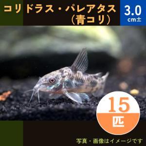 (熱帯魚・コリドラス)コリドラス・パレアタス(青コリ) SMサイズ 20匹|mame-store