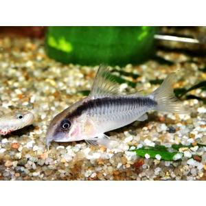 (熱帯魚・コリドラス)コリドラス・アルクアータス SMサイズ 5匹|mame-store