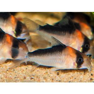 (熱帯魚・コリドラス)コリドラス・デュプリカレウス (ワイルド) Mサイズ 3匹|mame-store