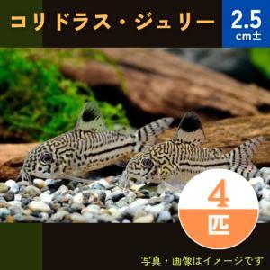 (熱帯魚・コリドラス)コリドラス・ジュリー(ブリード) SMサイズ 3匹|mame-store
