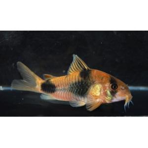 (熱帯魚・コリドラス)コリドラス・ワイツマニィ(ワイルド) Mサイズ 3匹|mame-store