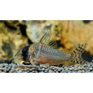 (熱帯魚・コリドラス)コリドラスsp.アルア(ワイルド)Mサイズ 2匹|mame-store