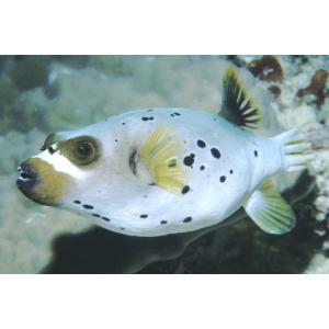 (海水魚・フグ)コクテンフグ 13cm± 2匹 mame-store