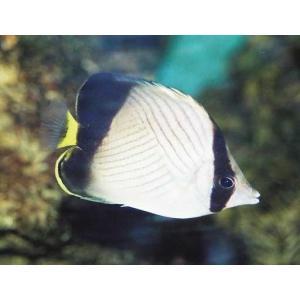 (海水魚・チョウチョウウオ) インドフウライチョウチョウウオ 6cm± 3匹|mame-store