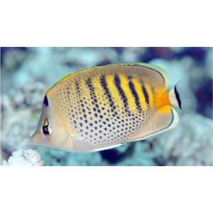 (海水魚・チョウチョウウオ) シチセンチョウチョウウオ 5cm± 3匹|mame-store