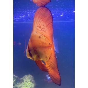 (海水魚・チョウチョウウオ) ナンヨウツバメウオ 幼魚サイズ 1匹|mame-store
