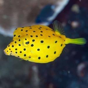 (海水魚・フグ)ミナミハコフグ 4cm± 3匹 mame-store