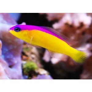 (海水魚・メギス) カンムリニセスズメ 4cm± 1匹 mame-store
