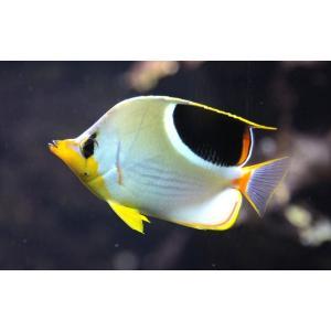 (海水魚・チョウチョウウオ) セグロチョウチョウウオ 6cm± 1匹|mame-store