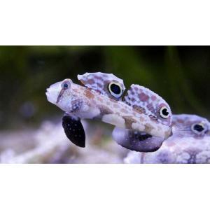 (海水魚・ハゼ) カニハゼ 4cm± 3匹|mame-store