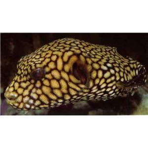 (海水魚・フグ)マップトードフィッシュ 10cm± 3匹 mame-store