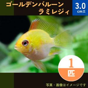 (熱帯魚・シクリッド) ゴールデンバルーン・ラミレジィ 3cm±  1匹|mame-store