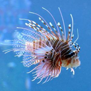 (海水魚・カサゴ)ネッタイミノカサゴ 8cm± 3匹 mame-store