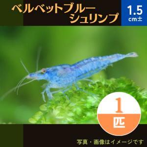 (エビ)ルリーシュリンプ・ベルベットブルー 1匹|mame-store