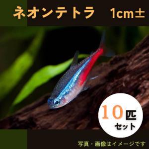 (熱帯魚・カラシン)ネオンテトラ SMサイズ 30匹|mame-store