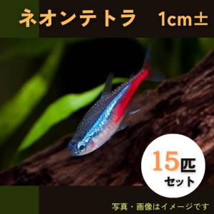 (熱帯魚・カラシン)ネオンテトラ SMサイズ 50匹|mame-store