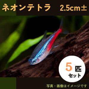 (熱帯魚・カラシン)ネオンテトラ Lサイズ 5匹|mame-store