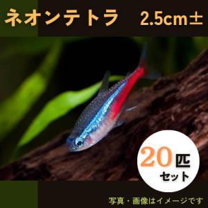 (熱帯魚・カラシン)ネオンテトラ Lサイズ 50匹|mame-store