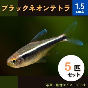 (熱帯魚・カラシン)ブラックネオンテトラ Mサイズ 5匹|mame-store