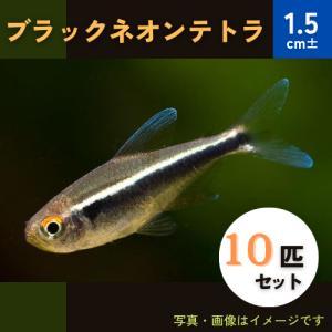 (熱帯魚・カラシン)ブラックネオンテトラ Mサイズ 10匹 mame-store