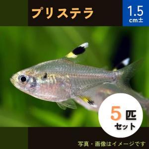(熱帯魚・カラシン)プリステラ Mサイズ 5匹|mame-store
