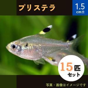 (熱帯魚・カラシン)プリステラ Mサイズ 30匹|mame-store
