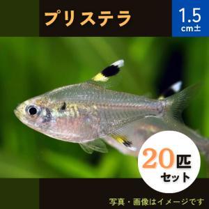 (熱帯魚・カラシン)プリステラ Mサイズ 50匹|mame-store