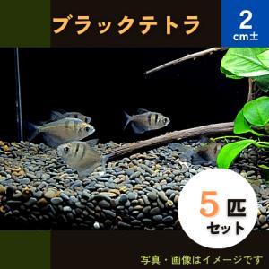 (熱帯魚・カラシン)ブラックテトラ Mサイズ 5匹|mame-store