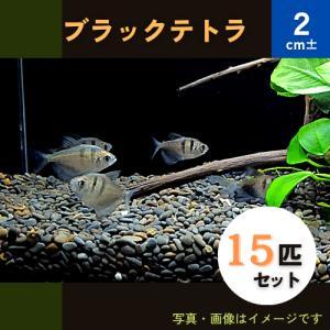 (熱帯魚・カラシン)ブラックテトラ Mサイズ 30匹|mame-store