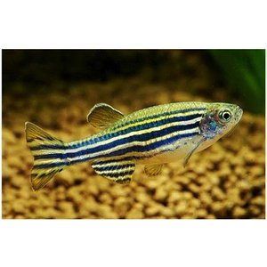 (熱帯魚・コイ)ゼブラダニオ Mサイズ 5匹|mame-store