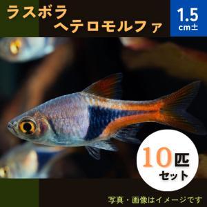 (熱帯魚・コイ)ラスボラ・ヘテロモルファ Mサイズ 10匹|mame-store