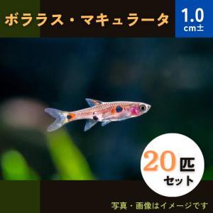 (熱帯魚・コイ)ボララスマキュラータ 1.5cm± 30匹|mame-store