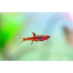 (熱帯魚・コイ)ボララスブリジッタエ SMサイズ 10匹|mame-store