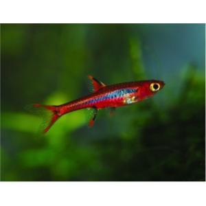(熱帯魚・コイ)ボララスブリジッタエ SMサイズ 50匹|mame-store
