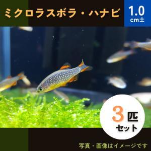 (熱帯魚・コイ)ミクロラスボラSP.HANABI SMサイズ 10匹|mame-store