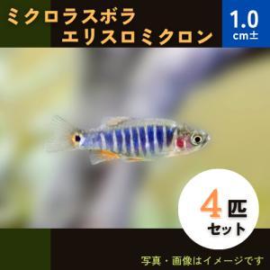 (熱帯魚・コイ)ミクロラスボラ エリスロミクロン 1.5cm± 4匹|mame-store
