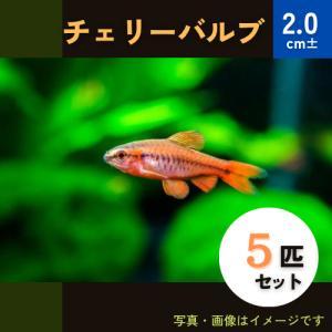 (熱帯魚・コイ)チェリーバルブ SMサイズ 5匹|mame-store