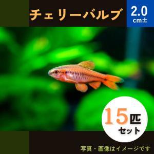 (熱帯魚・コイ)チェリーバルブ SMサイズ 30匹|mame-store