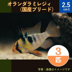 (熱帯魚・シクリッド))国産 オランダラミレジィ MSサイズ 10匹|mame-store