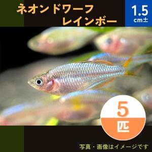(熱帯魚・レインボーフィッシュ)ネオンドワーフレインボー SMサイズ 5匹|mame-store